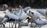初冬鄱湖 候鸟纷至