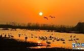 河南灵宝:生态湿地美如画 天鹅云集舞蹁跹