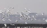35万余只水鸟迁抵中国最大淡水湖鄱阳湖