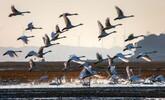 都昌:鄱阳湖嬗变为天鹅湖