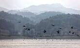 分宜:野鸭翔集生态美(图)