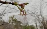 寧海橋頭胡櫻花怒放 萬株櫻樹等你共赴春天之約