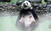 """大熊猫""""坦胸露乳""""泡温泉 还打哈欠"""