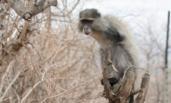 小猴子双臂遭电击 拼气力向人类求救