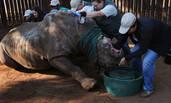 犀牛遭偷猎者毒手 一半面孔被毁