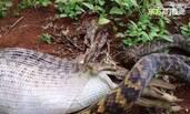 蟒蛇吞下整只袋鼠全过程
