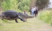 美巨型短吻鳄漫步人行小道