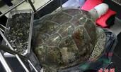 海龟误吞915枚许愿币 不幸去世