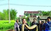 村民浇田意外捞出3米巨蟒 将蛇剥皮取胆切段