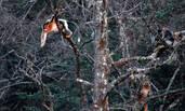 四川发现野生金丝猴群 数量120只左右