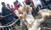 云南现高近1米重百斤的野生蘑菇 还能吃