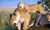 肯尼亚狮宝宝啃咬母狮后背