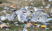 英国音乐节留下千吨垃圾 上百海鸥飞扑食用