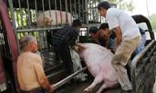6大汉合力运送700斤大肥猪