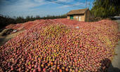 陕西成吨苹果堆积