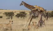 长颈鹿母子被狮群围攻