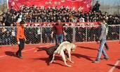 农民组织新春斗狗比赛 数百人围观