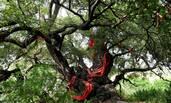 """这树被评为""""中国最美古树"""""""