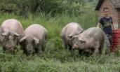 大学生为吃放心肉 放弃17万年薪养猪