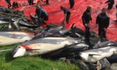 大批海豚被杀 鲜血染红海岸