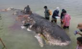 印尼:鲸鱼尸体腹中现12斤塑料垃圾