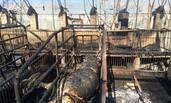 养猪场凌晨突起火 上百头猪命丧火场