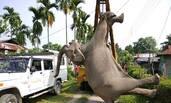 大象稻田漫步触电身亡 起重机转移尸体