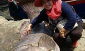 泰国渔夫钓起400斤野生石斑
