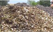 中国游客在泰狂吃榴莲,残壳日积1吨