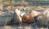 4只狮子通力合作扑倒大块头长颈鹿