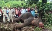 一头夺走15人性命的大象被枪决