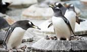 """这是企鹅的""""彩礼"""""""