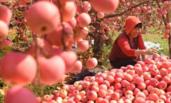 30多万亩苹果丰收