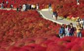日本茨城县3万株地肤变色