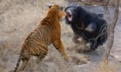 为保护幼熊 母熊勇猛逼退两头老虎