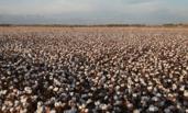 新疆:棉花丰收季