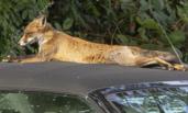 小狐狸趴在车顶晒太阳