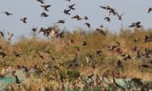 大批麻雀在胶州湾畔飞舞