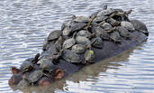 成群乌龟挤河马背上晒太阳