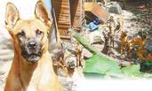主人猝死后 被收养的16只狗啃尸