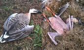 鄱阳湖大雁被偷猎 现场拔光毛