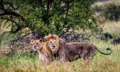 南非狮王年老体衰遭抛弃 步伐蹒跚等待死亡