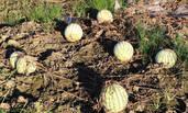 高温袭来,西瓜在田里干枯了