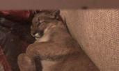 美洲狮闯民宅居然睡着 女主人躲门外6小时等它醒
