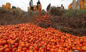柿子滞销 农民忍痛倒进山沟