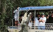 约6米长鳄鱼从水中立起