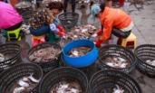 渔船回港 捕获大量梭子蟹