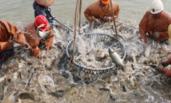 江苏:4.9万亩淡水鱼起捕迎中秋