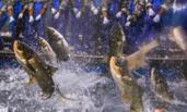千岛湖一网打渔16万斤