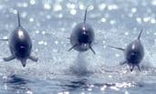 3头海豚同时跃出海面 如战斗机